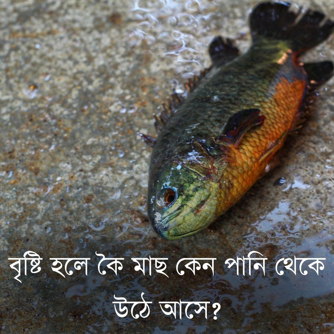 বৃষ্টি হলে কৈ মাছ